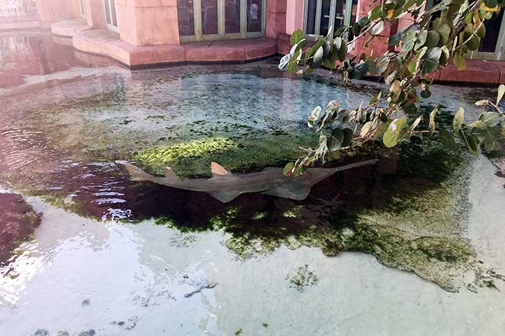 [バハマ]アトランティスのノコギリザメ